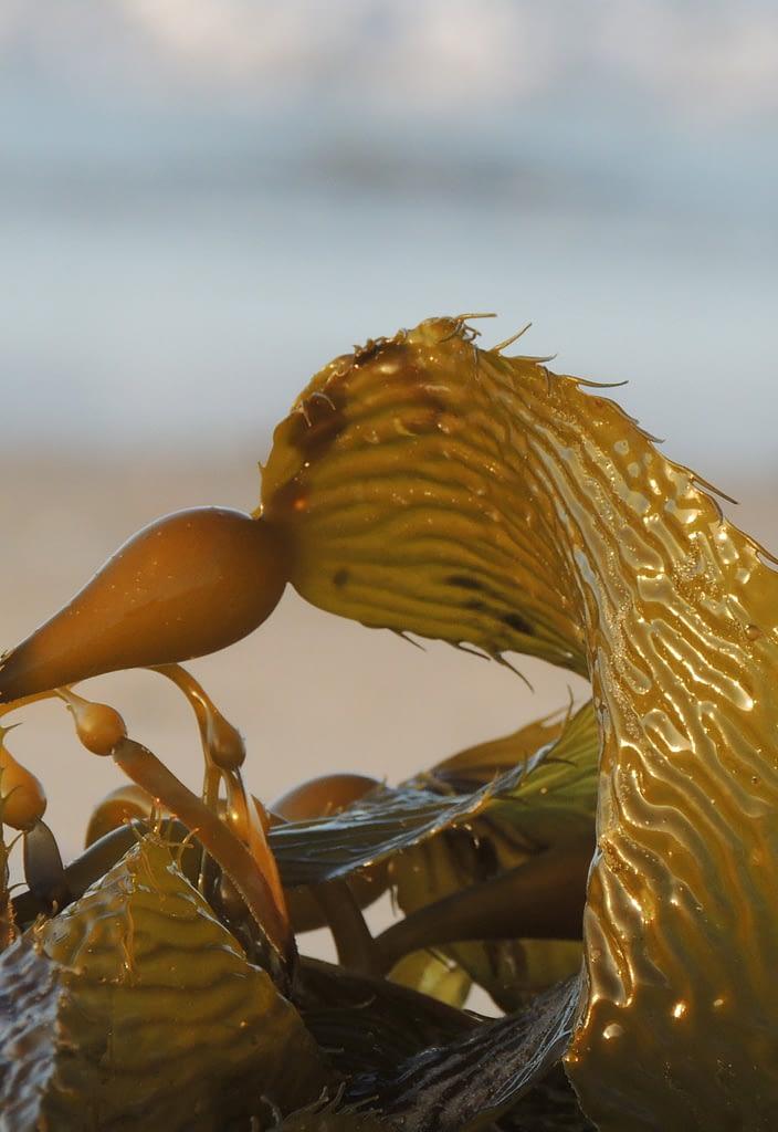 brown seaweed on beach